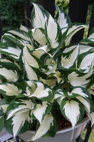 Fire & Ice Hosta Lily - 1 Gallon Pot