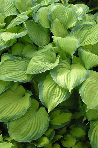 Guacamole Hosta Lily - 10 Pack of Quart Pots