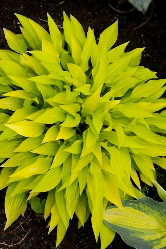 Munchkin Fire Hosta Lily - 5 Pack of Quart Pots
