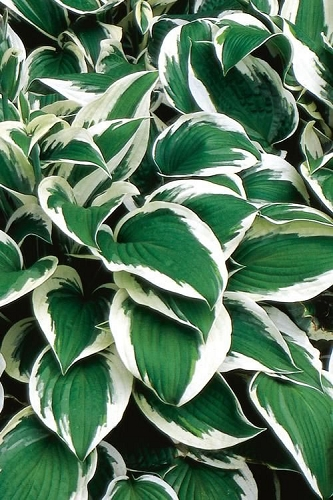 Patriot Hosta Lily