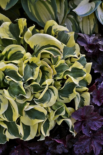 Mini Skirt Hosta Lily - 5 Pack of Quart Pots