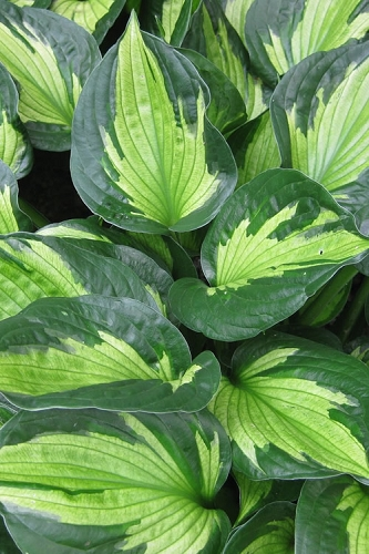 Whirlwind Hosta Lily