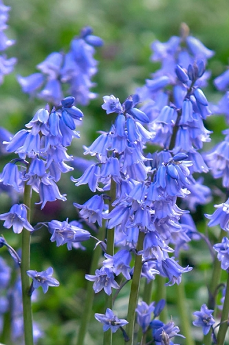 Spanish Bluebells (Hyacinthoides hispanica) - 1 Gallon Pot