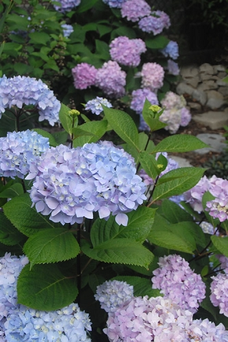 Blue Enchantress Hydrangea
