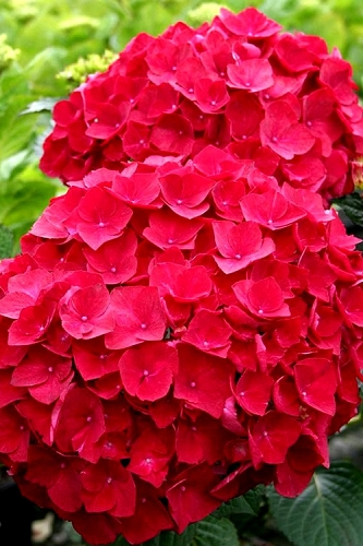Cardinal Red Hydrangea - 3 Gallon Pot
