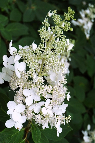 Chantilly Lace Hydrangea
