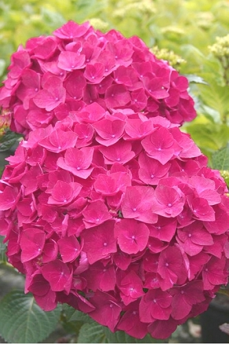 Charm Red Hydrangea -1 Gallon
