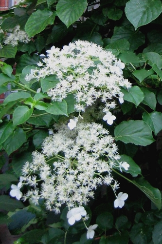 Climbing Hydrangea 'Petiolaris' - 1 Gallon Pot