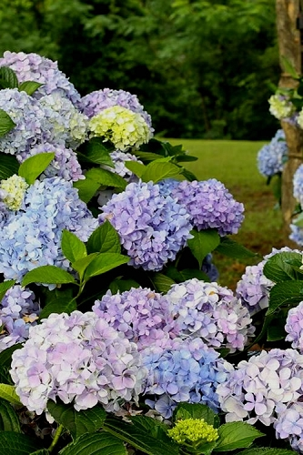 Dear Dolores Hydrangea - 3 Gallon Pot