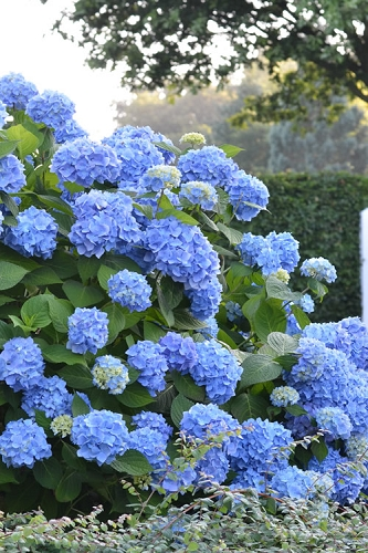 Endless Summer Hydrangea Original - 3 Gallon Pot