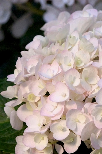 Blushing Bride Endless Summer Hydrangea - 2 Gallon Pot