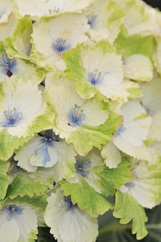 Everlasting Noblesse Hydrangea - 3 Gallon Pot