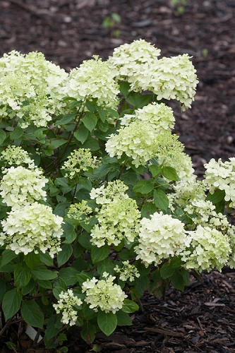 Little Lime Hydrangea - 3 Gallon Pot