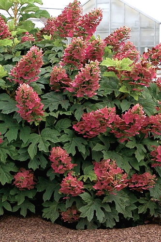 Ruby Slippers Dwarf Oakleaf Hydrangea - 3 Gallon Pot