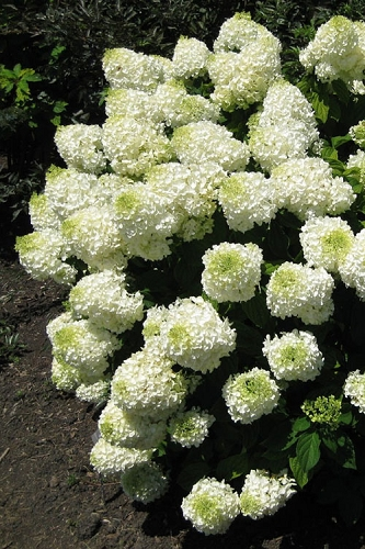 Silver Dollar Hydrangea - 3 Gallon Pot