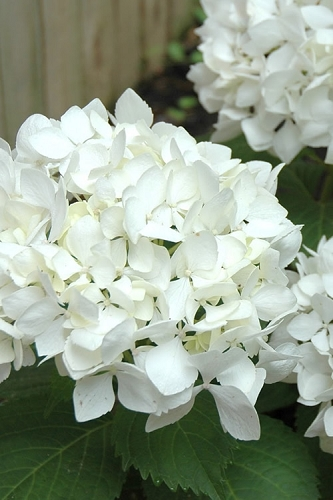 Sister Theresa Hydrangea - 3 Gallon Pot