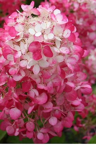 Strawberry Sundae Hydrangea - 1 Gallon Pot