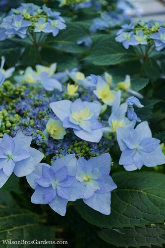 Tuff Stuff Ah-Ha Mountain Hydrangea - 3 Gallon Pot