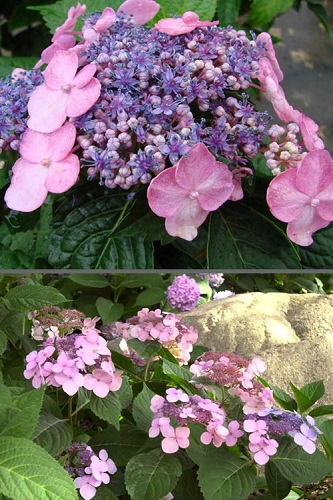 Twist-N-Shout Endless Summer Hydrangea