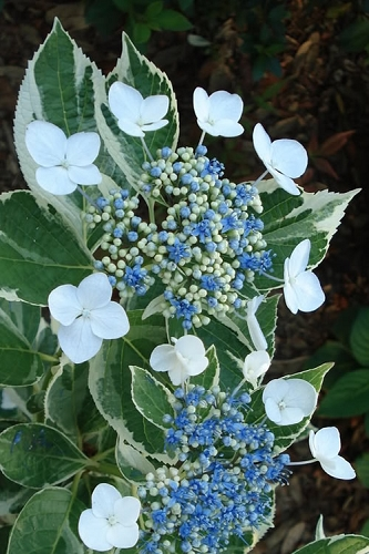 Mariesii Variegated Lacecap Hydrangea - 3 Gallon Pot