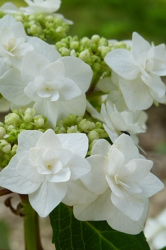 Wedding Gown Lacecap Hydrangea - 3 Gallon Pot