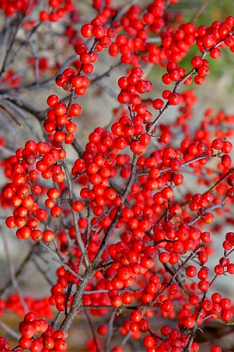 Sparkleberry Female Winterberry Holly - 3 Gallon Pot
