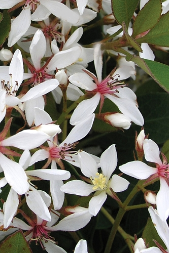 Snow White Indian Hawthorne - Rhaphiolepis indica - 3 Gallon Pot