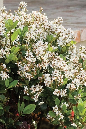 Spring Sonata Indian Hawthorne - 2 Gallon Pot