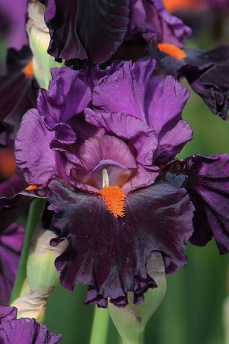 Sharp Dressed Man Bearded Iris - 1 Gallon Pot