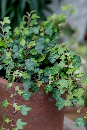 Duckfoot Ivy - Hedera helix - 3 Pack of Pint Pots