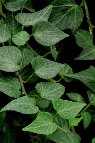 Teardrop Ivy  (Hedera helix) - 10 Count Flat of Pint Pots