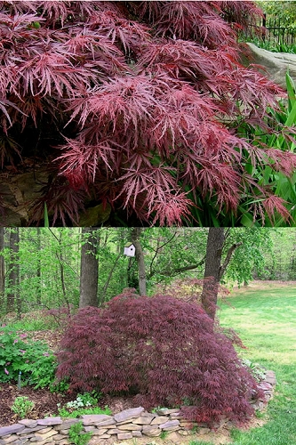 Crimson Queen Dwarf Japanese Maple