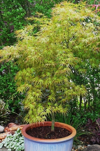 Eagle's Claw  Japanese Maple