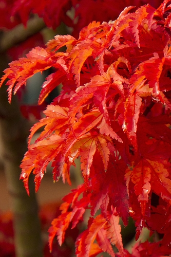 Lions Head Japanese Maple - Acer palmatum 'Shishigashira' - 5 Gallon Pot