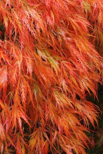 Orangeola Weeping Japanese Maple - 5 Gallon Pot