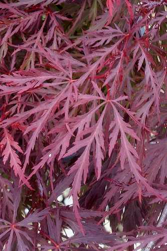 Red Dragon Dwarf Japanese Maple - 2 Gallon Pot