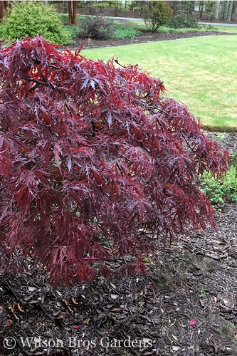 Red Dragon Dwarf Japanese Maple