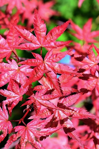 Shishio Improved Upright Japanese Maple - 2 Gallon Pot