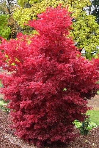 Skeeter's Broom Japanese Maple - 2 Gallon Pot