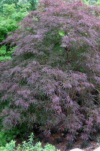 Tamukeyama Dwarf Red Japanese Maple - 5 Gallon Pot
