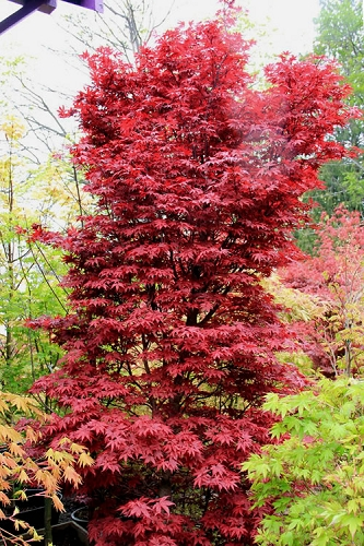 Twomblys Red Sentinel Japanese Maple - 2 Gallon Pot