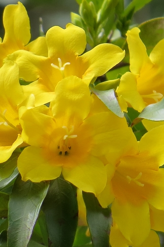 Duet Yellow Jasmine (Jessamine) - 3 Gallon Pot