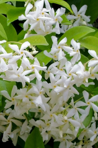 Madison Confederate Jasmine - 1 Gallon Pot