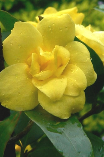 Pride of Augusta Jessamine (Jasmine) - 2 Gallon Pot