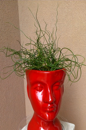 Big Twister Giant Corkscrew Rush - Juncus Effusus - 1 Gallon Pot