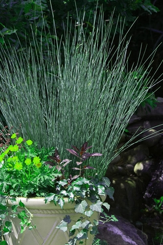 Blue Arrows Rush - Juncus inflexus - 5