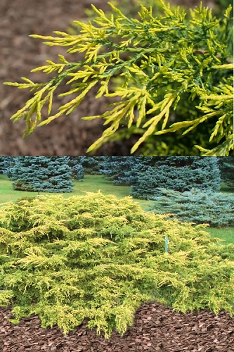 Gold Lace Juniper - 1 Gallon Pot