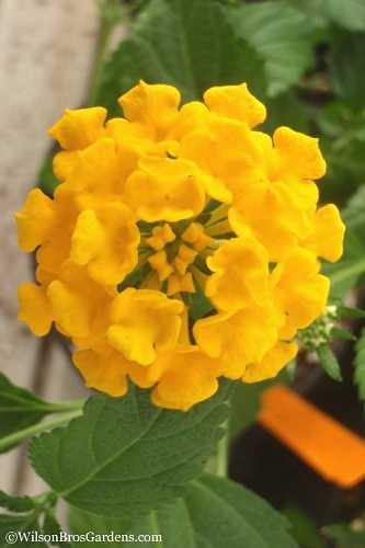 Chapel Hill Gold Hardy Lantana - 3.5