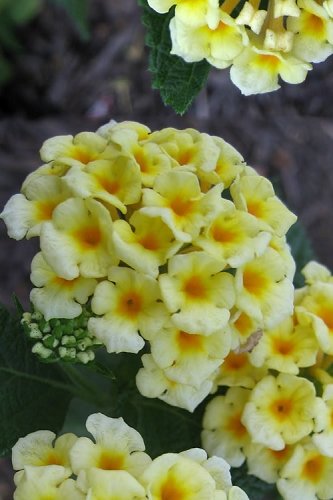 Chapel Hill Yellow Hardy Lantana - 3.5