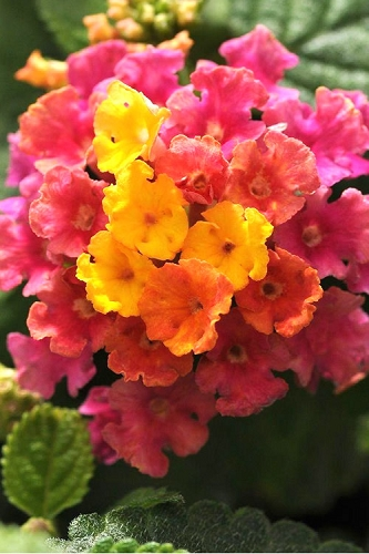 Little Lucky Hot Pink Lantana - Quart Pot